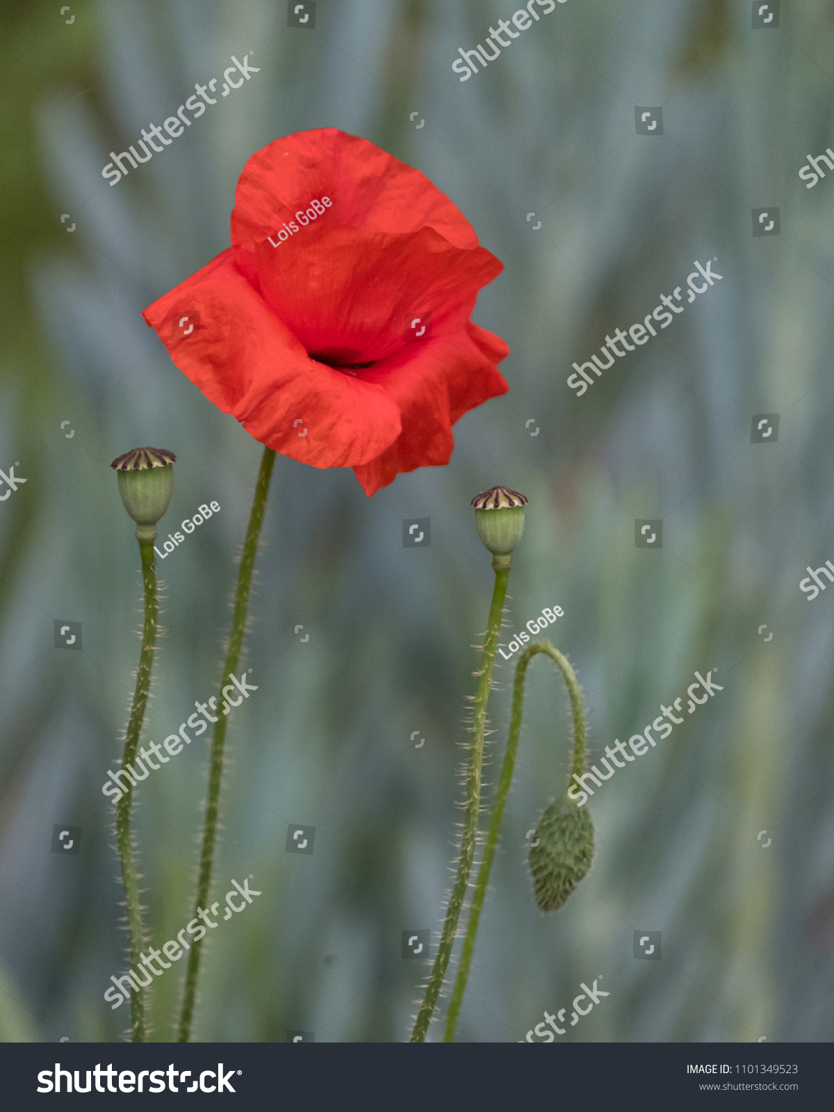 Red Poppy Flower Against Leafy Background Stock Photo Edit Now