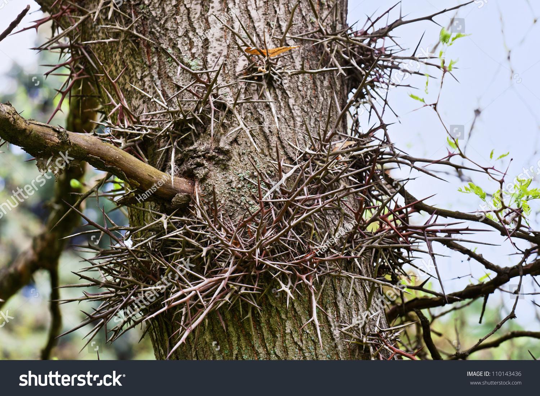 Thorn Tree Stem Fragment Many Long Stock Photo 110143436 ...