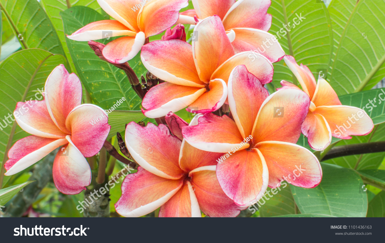 Closeup Colorful Frangipani Flowers Exotic Yellow Stock Photo Edit