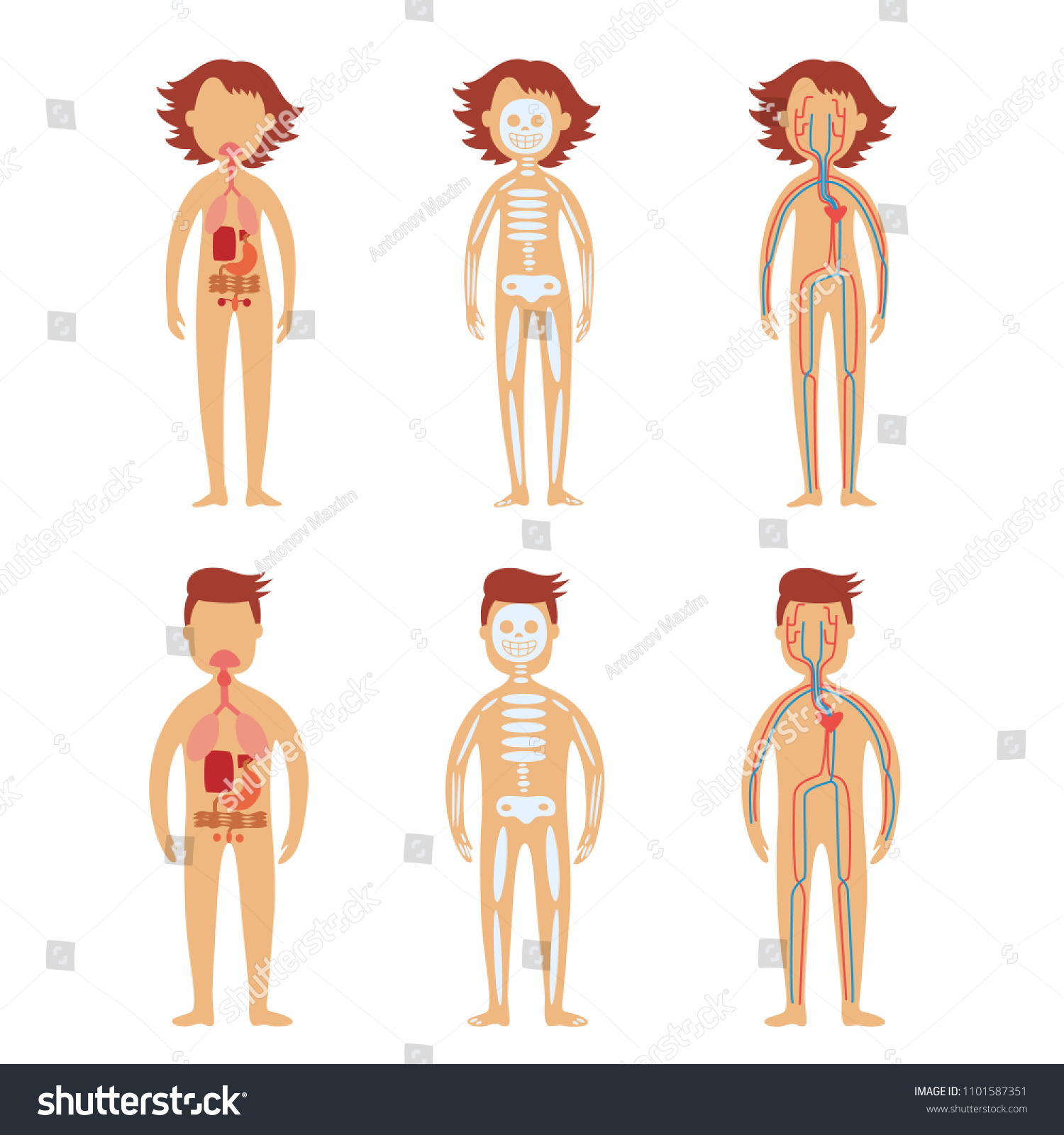 Human Internal Organs Male Female Bodies Stock Vector Royalty Free