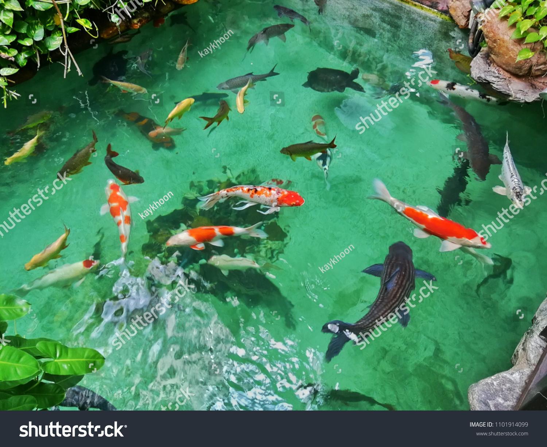 Top View Japanese Koi Fish Pond Stock Photo Edit Now 1101914099