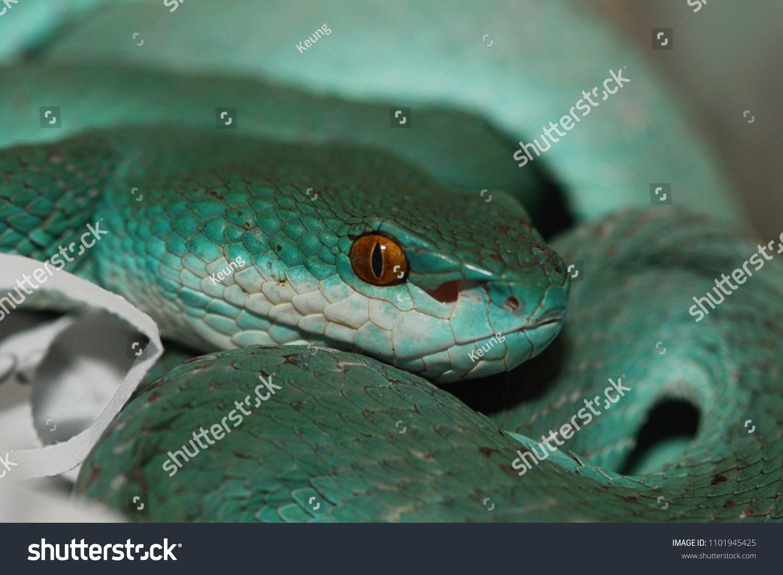 Blue Pit Viper Stock Photo (Edit Now) 1101945425