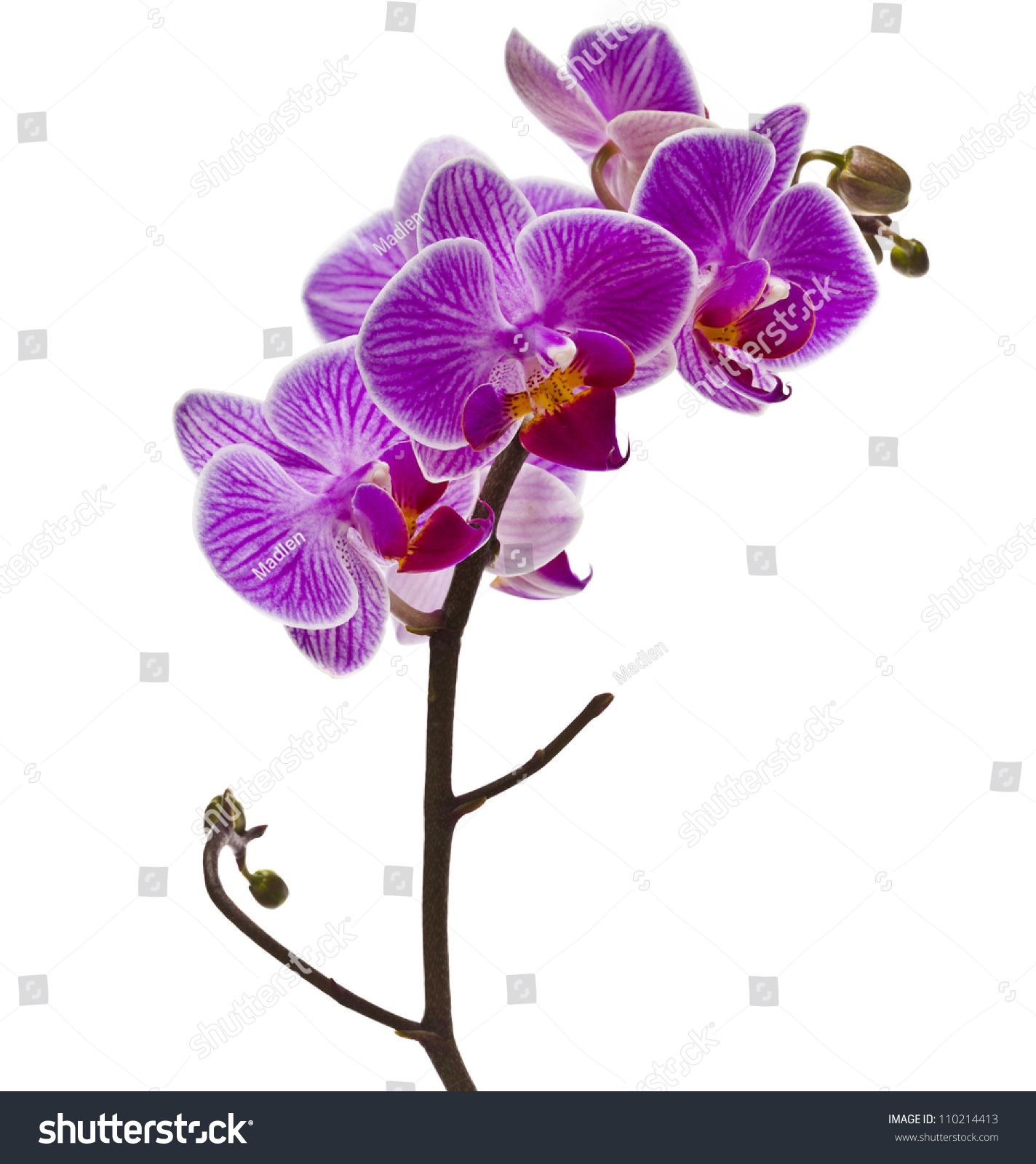 Purple Orchid Flower Isolated On White Stock Photo Edit Now