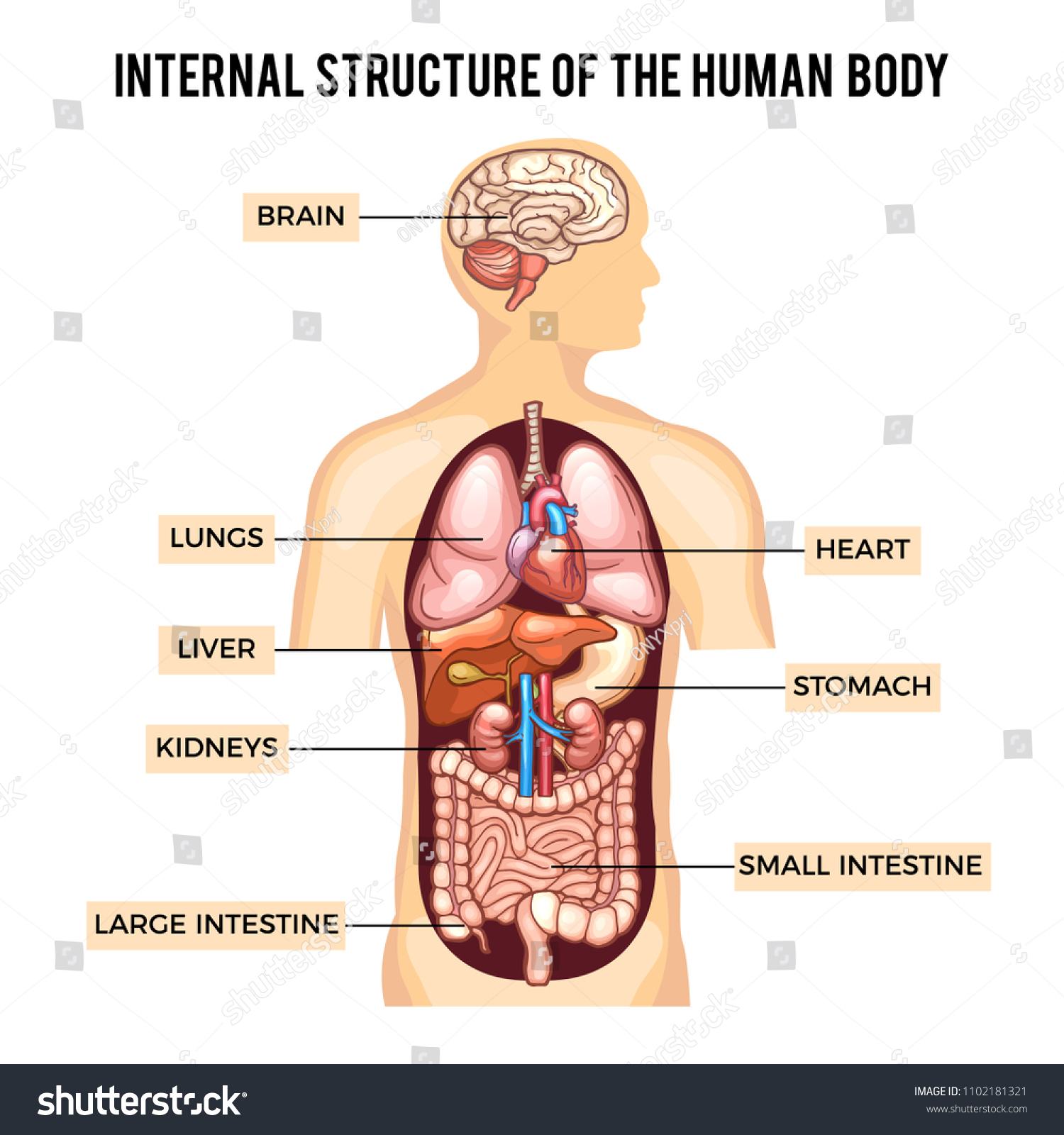 Human Body Organs Systems Infographic Anatomy Stock Illustration