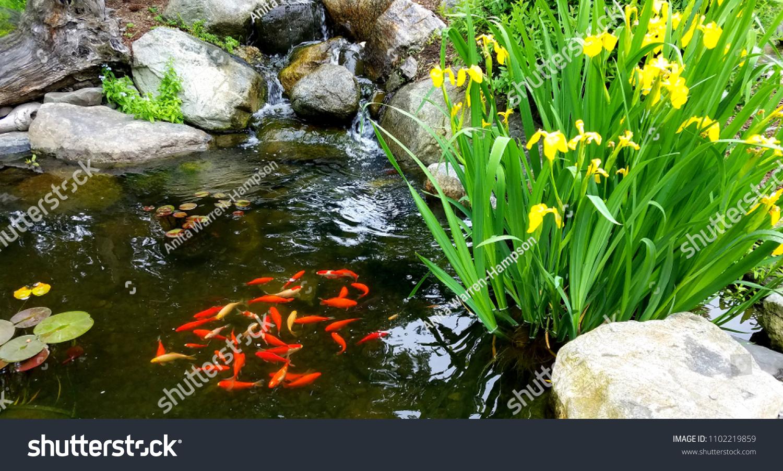School Bright Orange Koi Fish Near Stock Photo Edit Now 1102219859