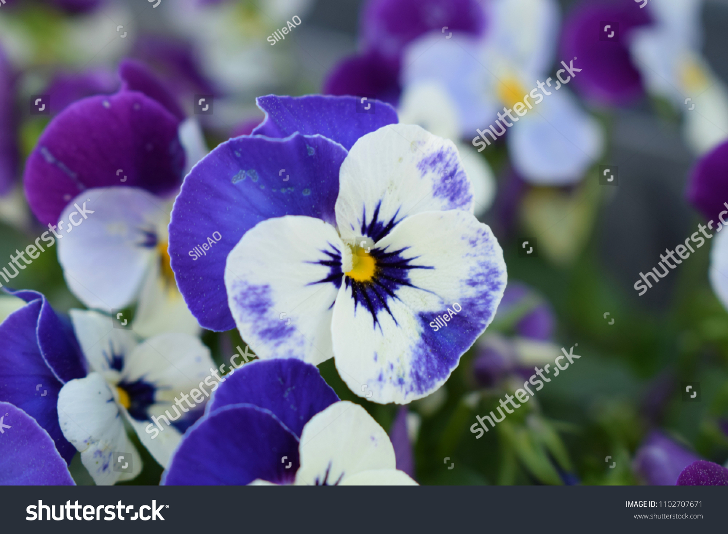 Blue Purple White Flower Yellow Center Stock Photo Edit Now