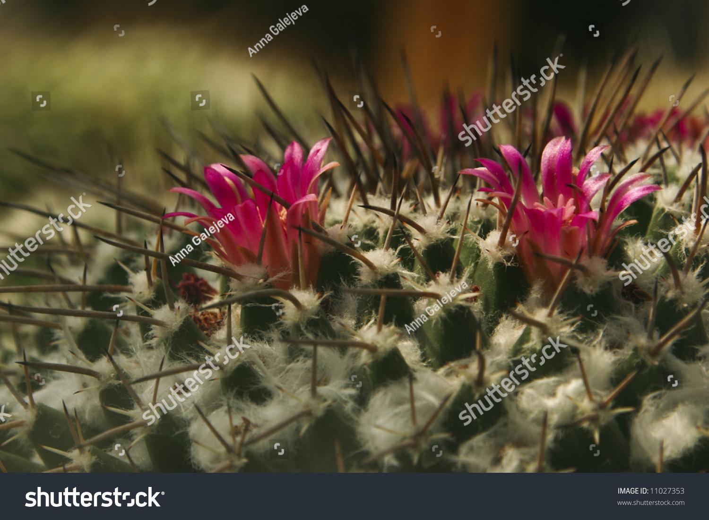 Close Pink Cactus Flower Stock Photo Edit Now 11027353 Shutterstock