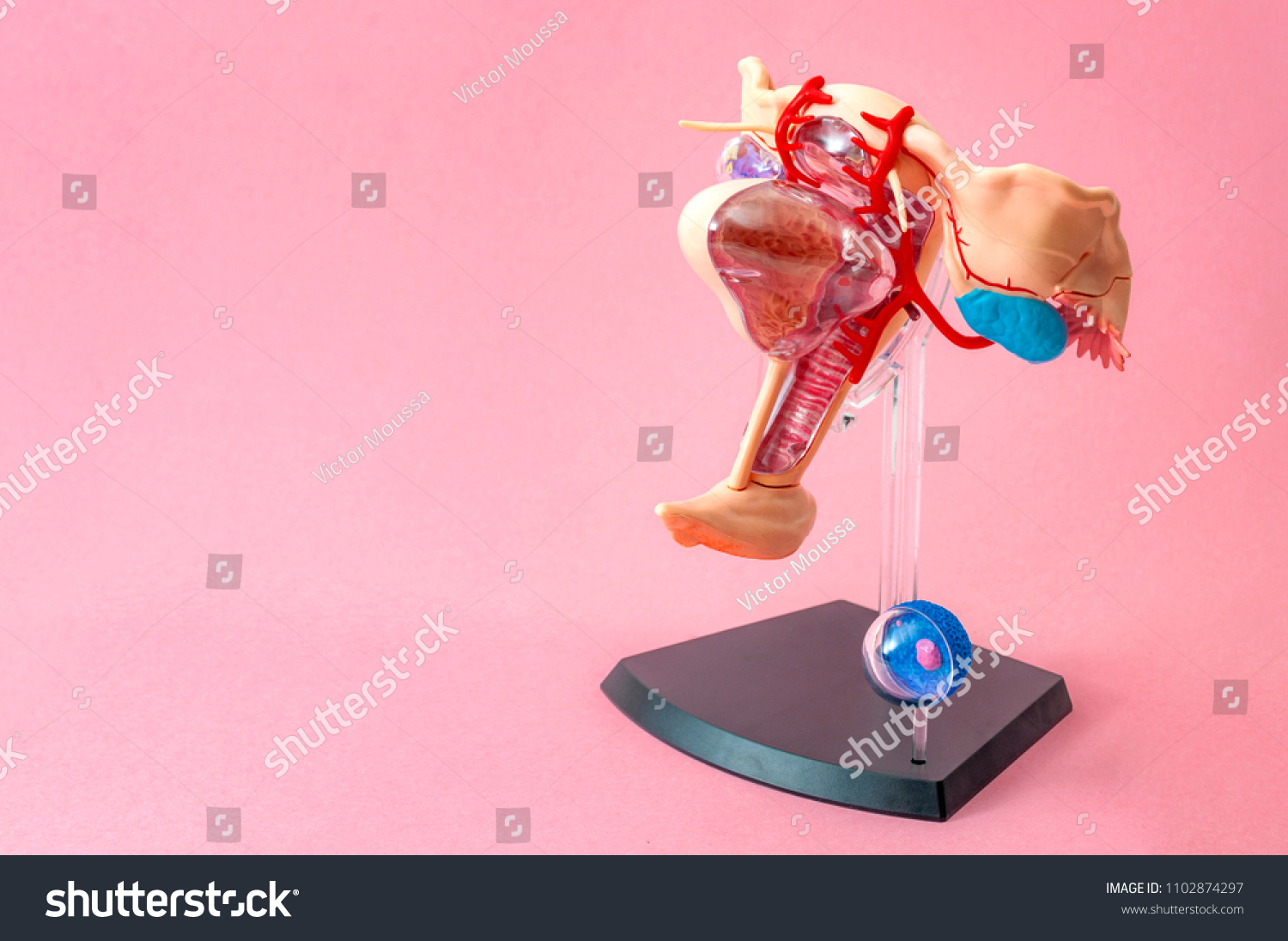 Female Anatomy Women Reproductive System Concept Stock Photo Image