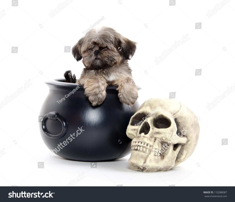 Shih Tzu Puppy Sitting Inside Black Stock Photo (Royalty Free ...