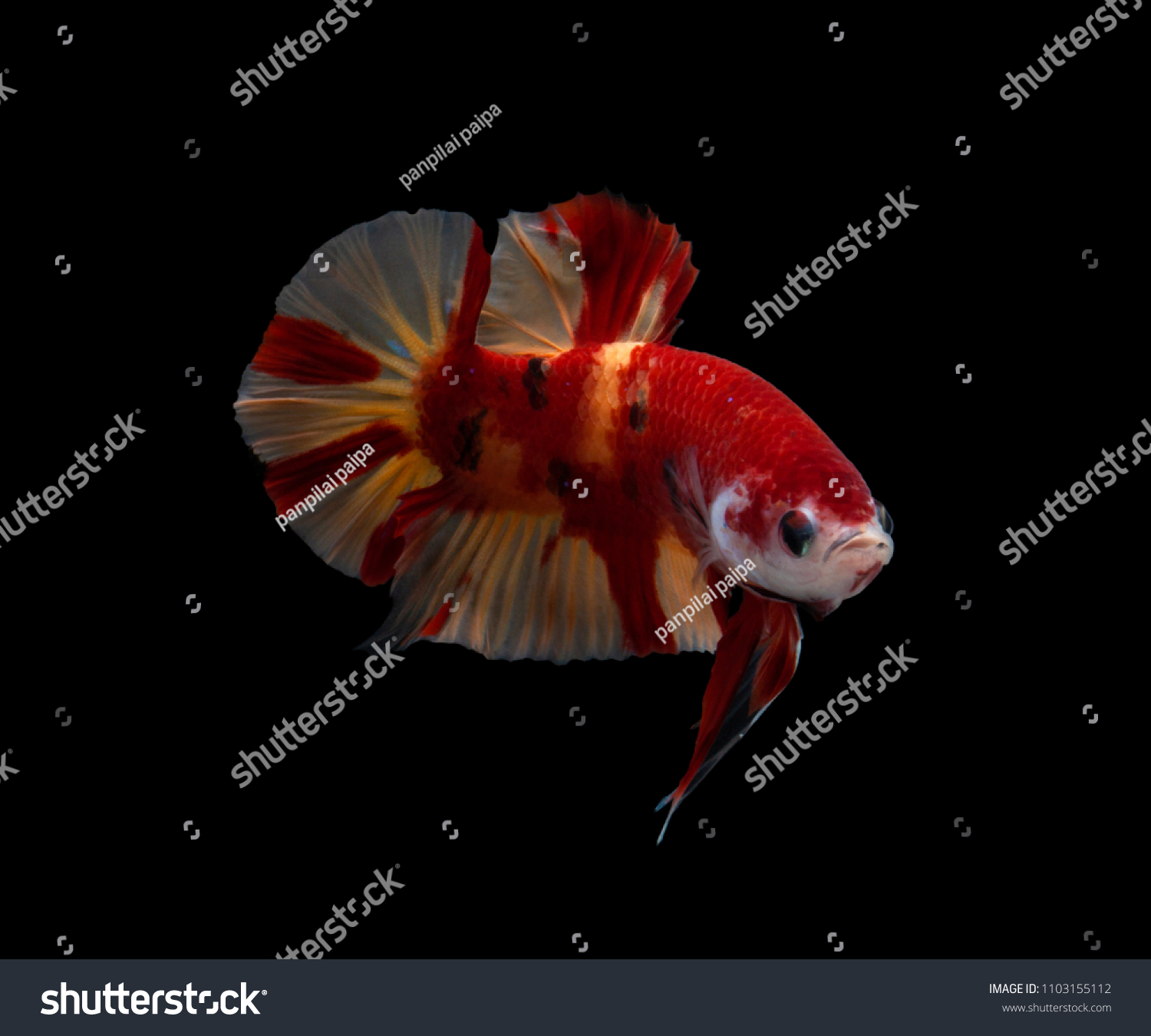 Mating Season Fish Nature Multi Color Siamese Stock Photo (Safe to ...