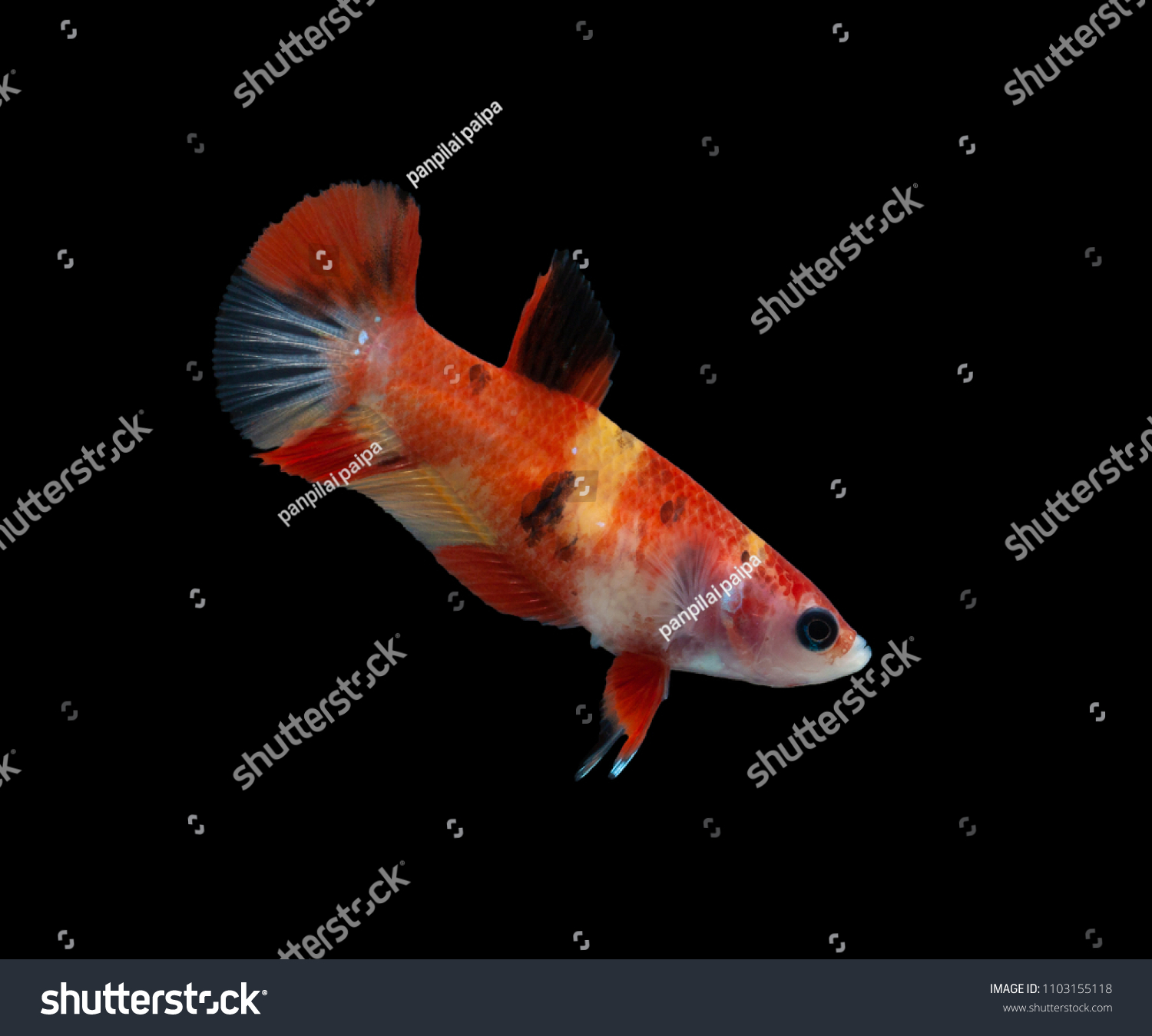 Mating Season Fish Nature Multi Color Siamese Stock Photo (100 ...