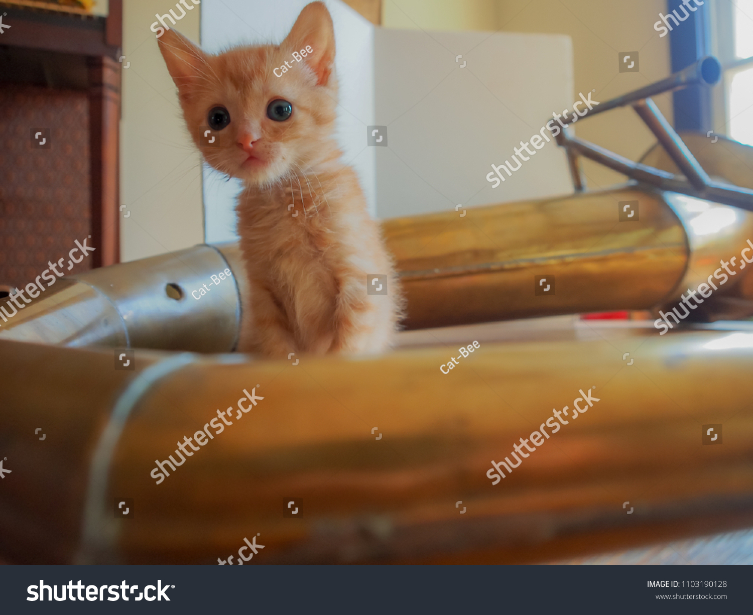 Kitten with a traditional handmade brass instrument from Sulawesi,  Indonesia.