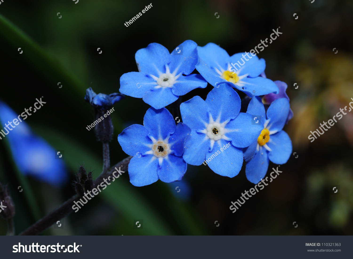 Fresh blue forgetmenot flower show details stock photo - Show me flowers ...