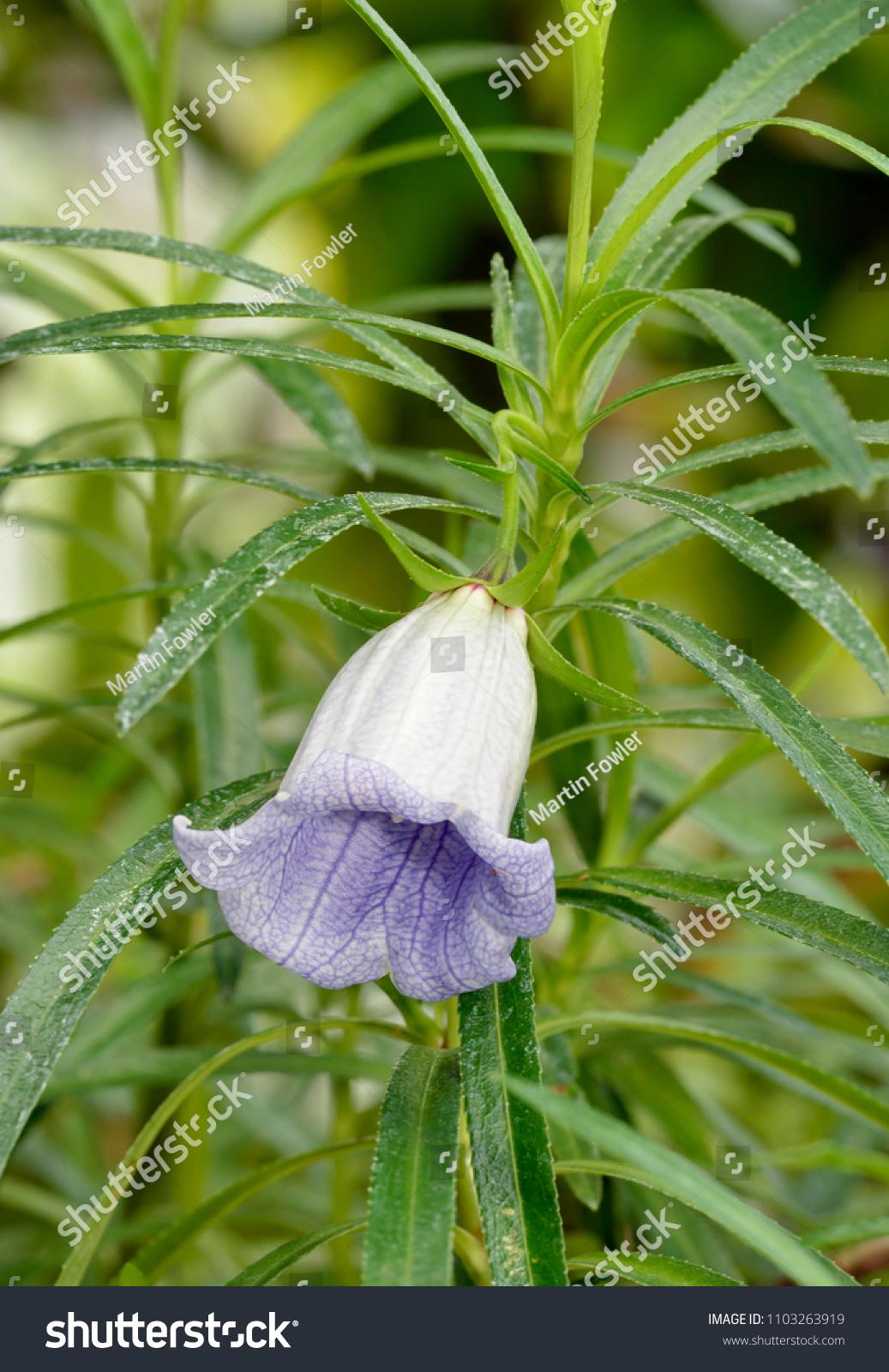 Nesocodon mauritianus Campanulaceae flower endemic to the island of Mauritius #1103263919