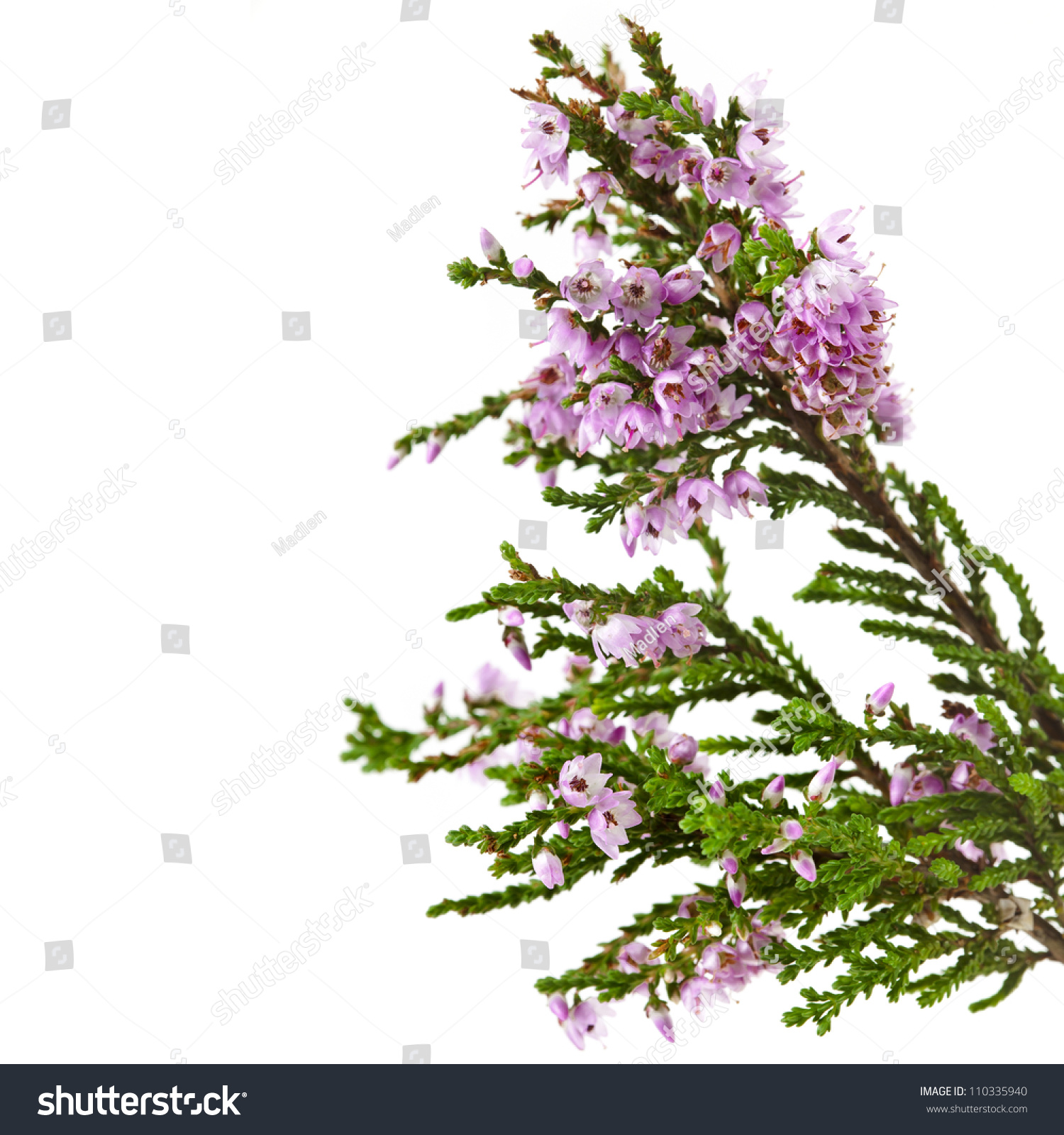 Heather With Purple Flowers Isolated On White Background Ez Canvas