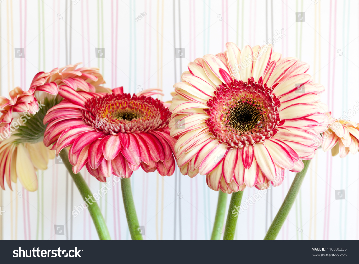 Bunch Pink Striped Gerbera Daisy Flowers Stock Photo Edit Now