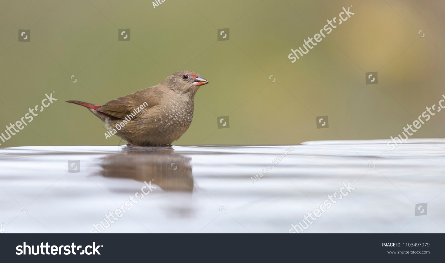 Redbilled Firefinch Female Having Bath Cool Stock Photo (Edit Now ...