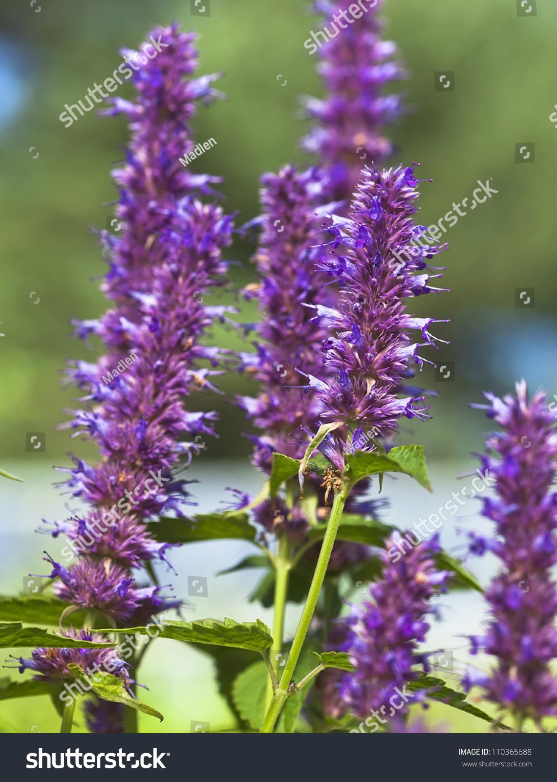 Peppermint Plant Flower Stock Photo 110365688 - Shutterstock