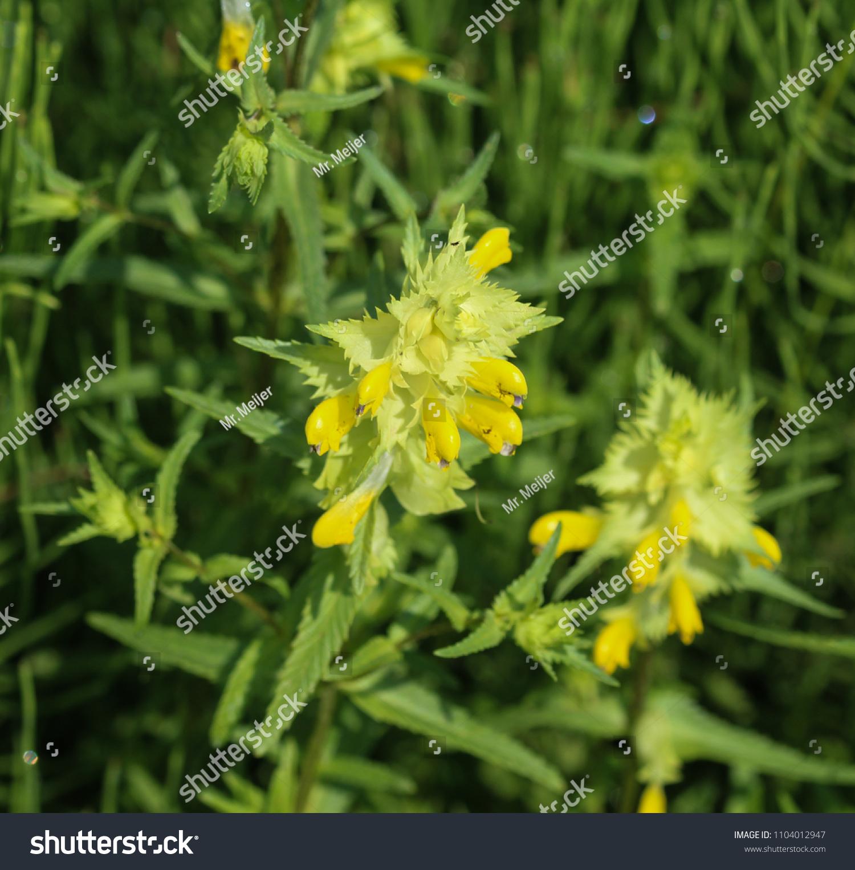 Close Rhinanthus Angustifolius Greater Yellow Rattle Stock Photo