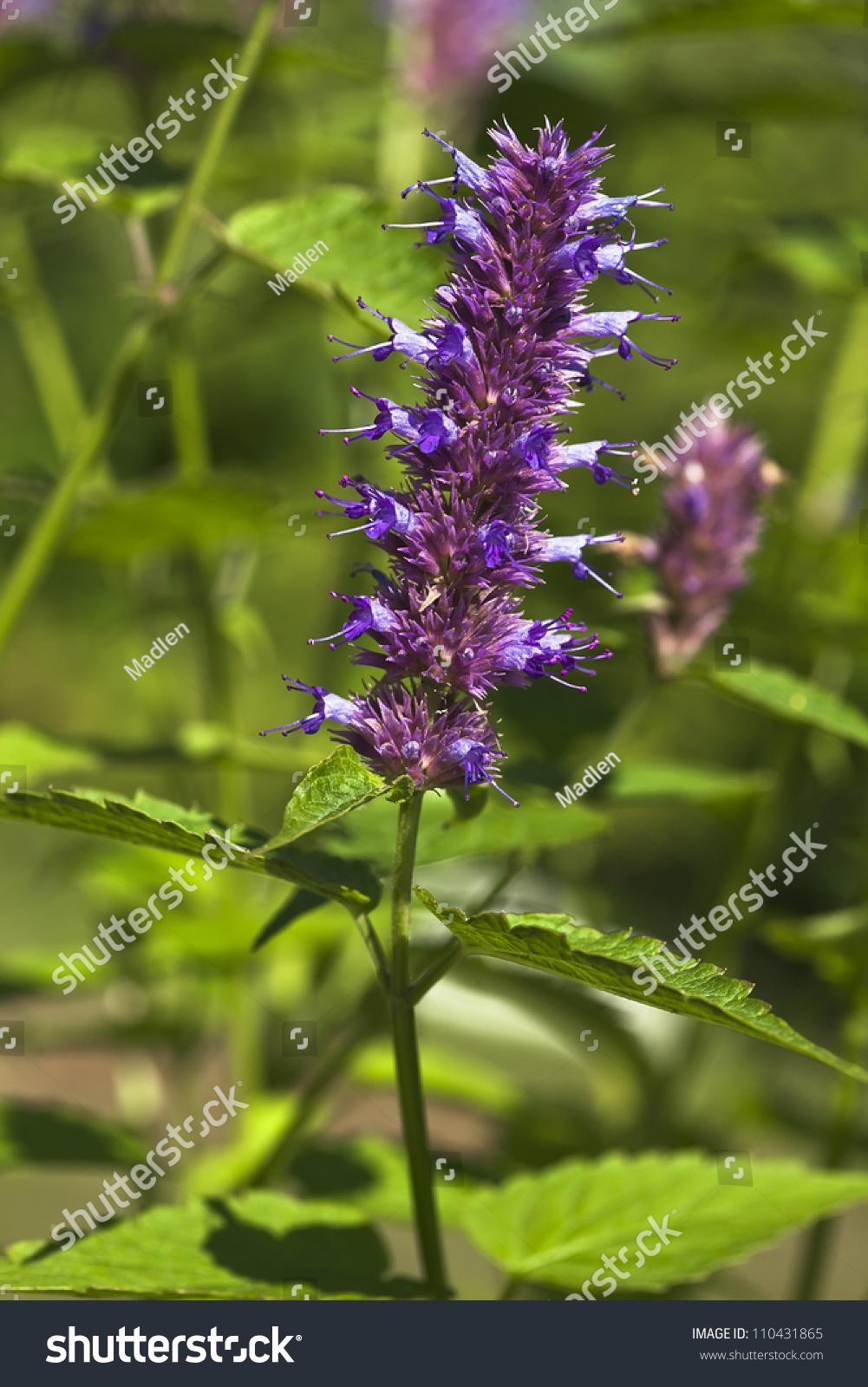 Peppermint Plant Flower Stock Photo 110431865 - Shutterstock