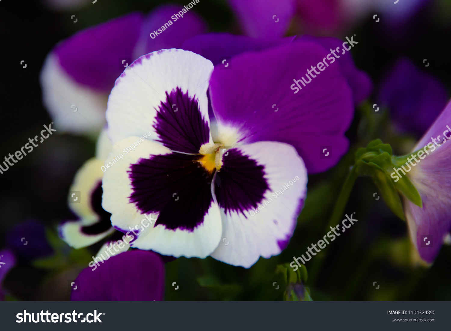 Bright Beautiful Flowers Pansies Blossomed Flower Stock Photo Edit