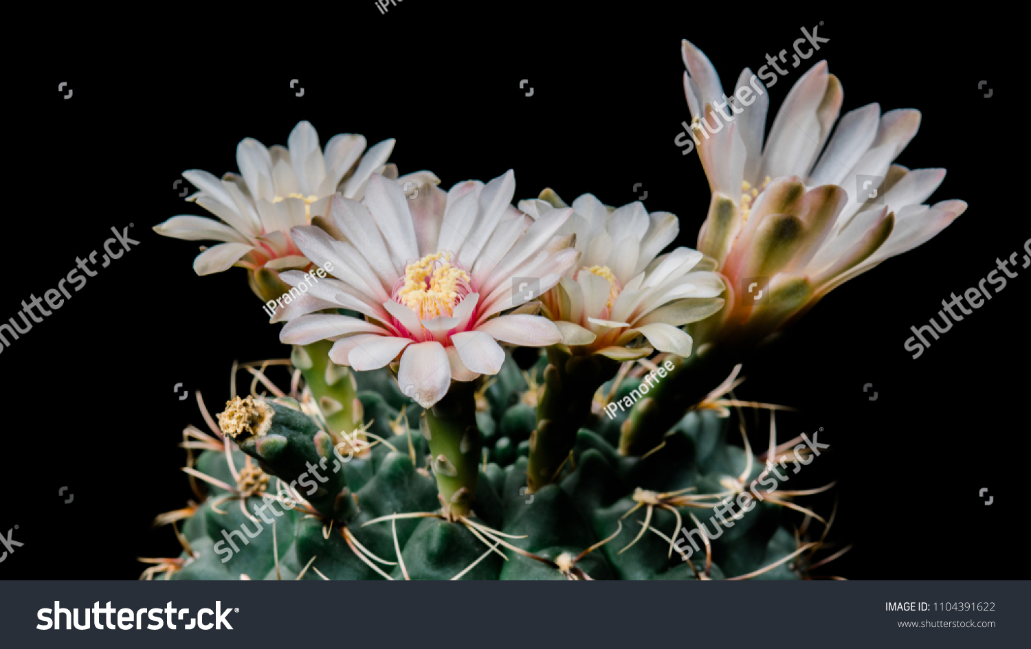 Gymnocalycium Baldianum Cactus Beautiful White Colour Stock Photo