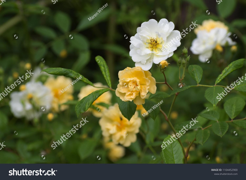 Apricot Yellow White Flowers Rambling Rose Stock Photo Edit Now