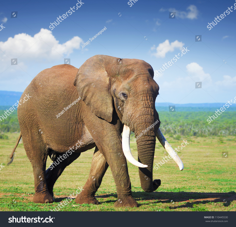 essay on indian elephants