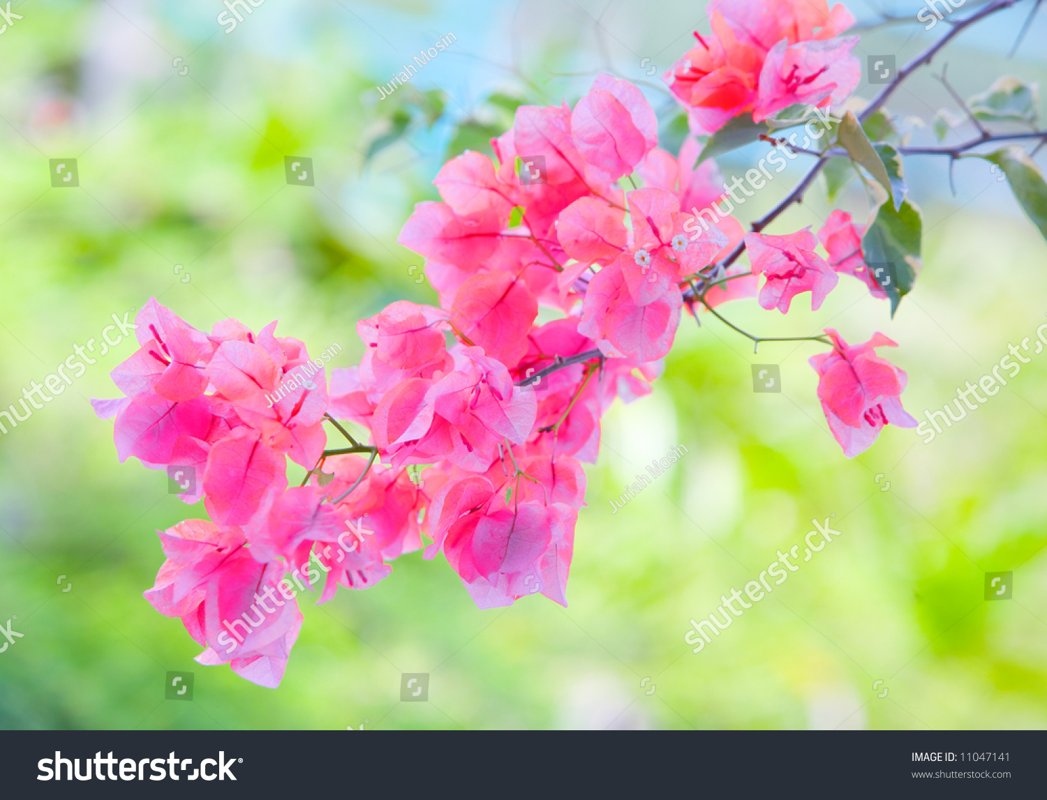 Bunch Tropical Paperlike Bougainvillea Flower End Stock Photo