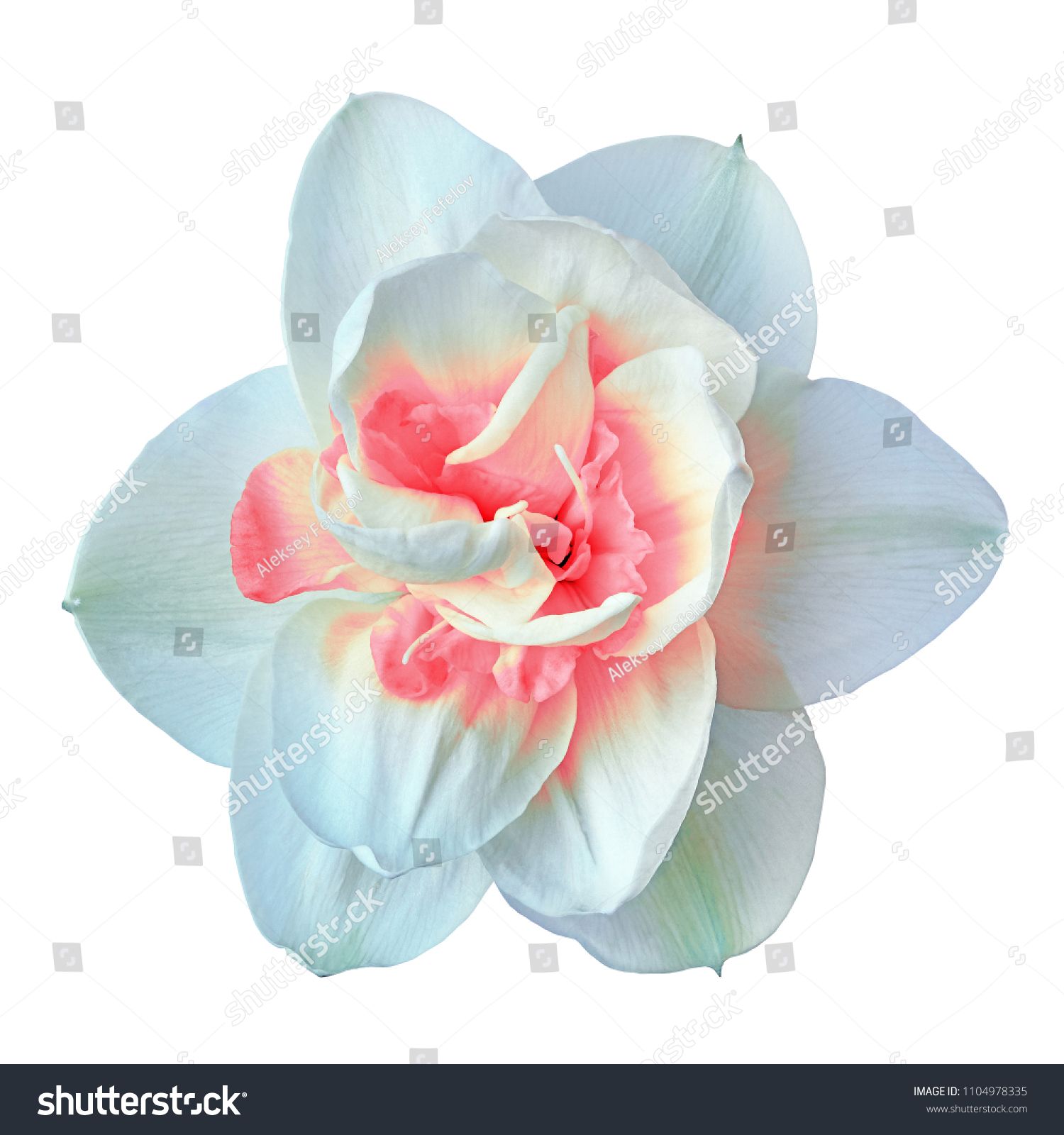 Flower White Pink Narcissus Isolated On Stock Photo Edit Now