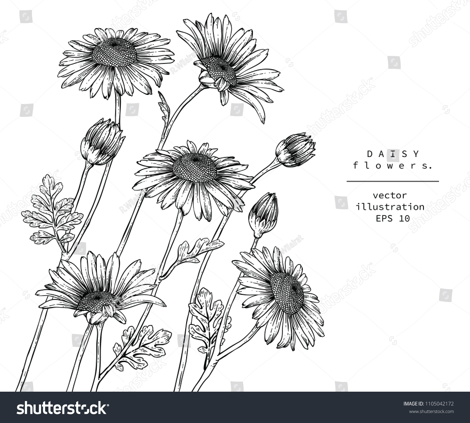 Sketch Floral Botany Collection Daisy Flower Stock Vector Royalty