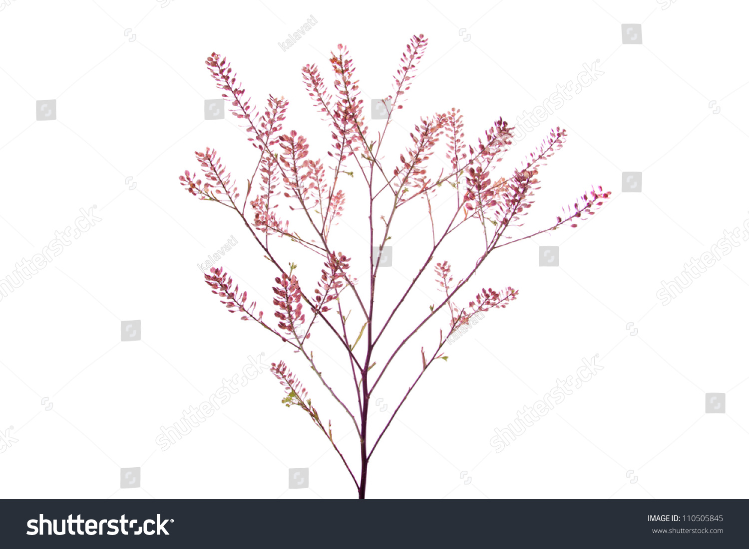 Herba Bursae Pastoris Stock Photo Royalty Free 110505845