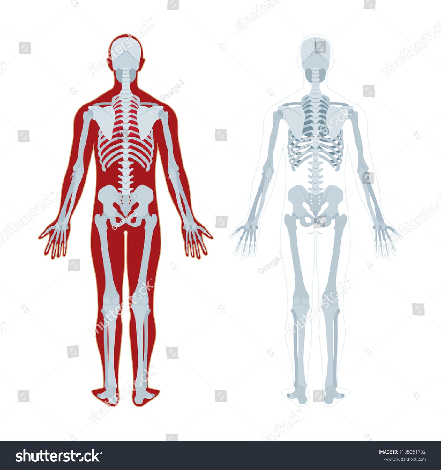 Human Skeleton Human Body Anatomy Skeleton Stock Vector (Royalty ...
