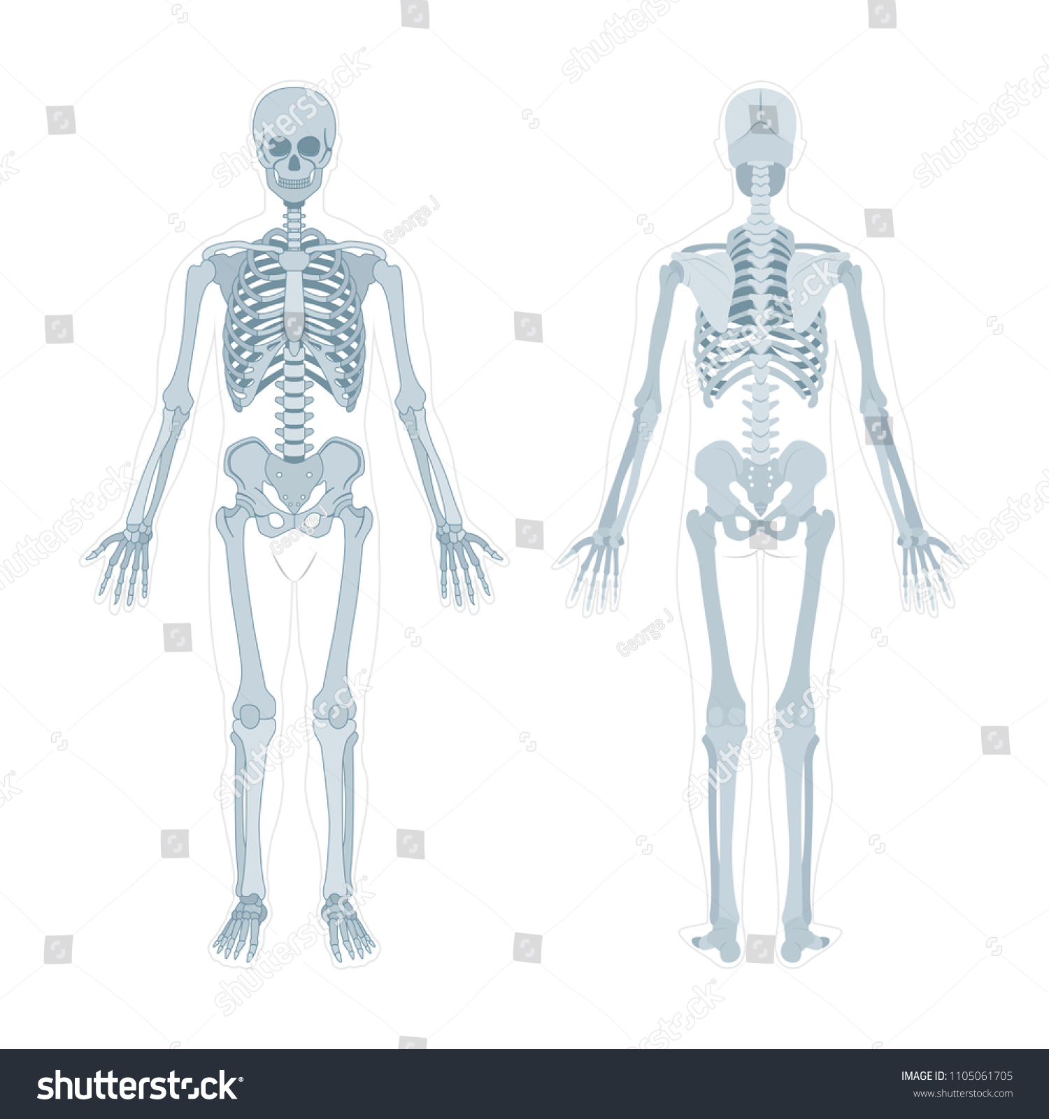 Human Skeleton Human Body Anatomy Skeleton Stock Vector Royalty