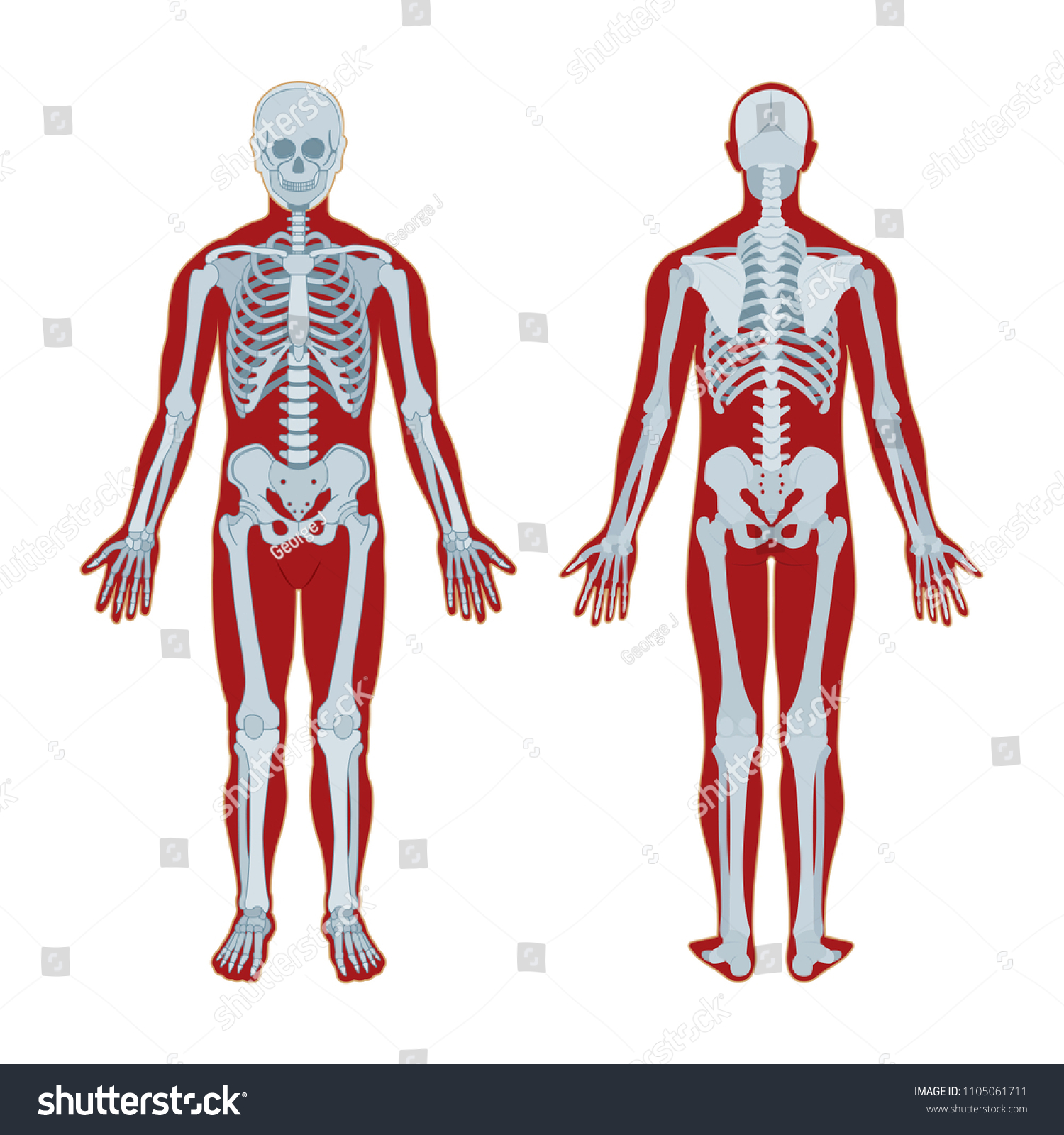 Human Skeleton Human Body Anatomy Skeleton Stock Vector Royalty