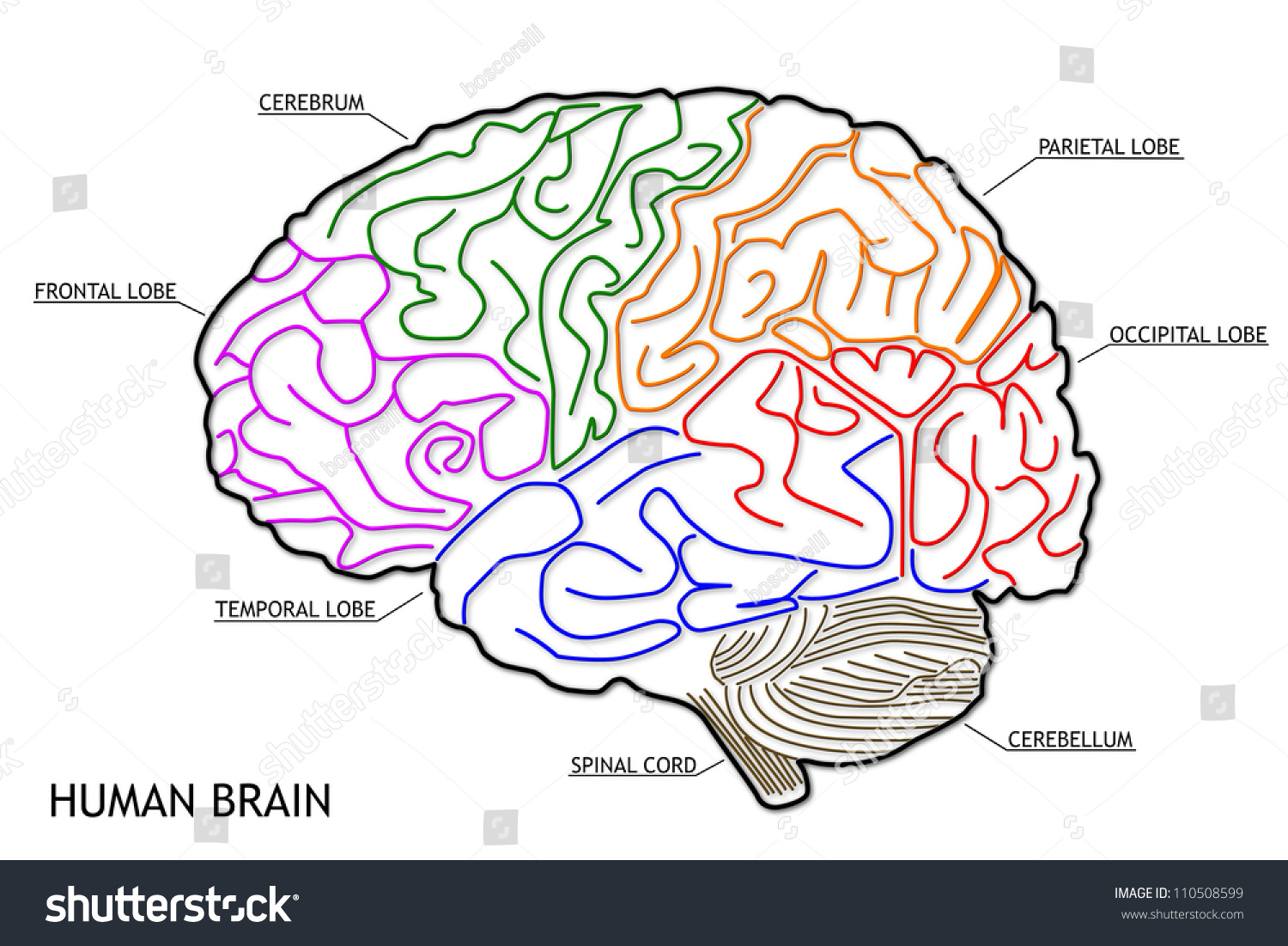 Human Brain Structure Stock Illustration 110508599 - Shutterstock