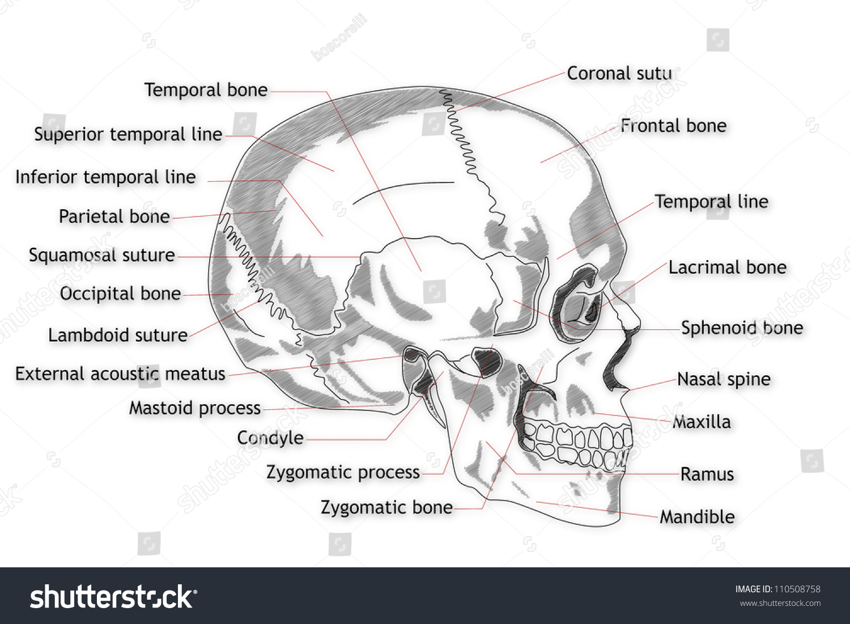 Human Skull Structure Stock Illustration 110508758 Shutterstock