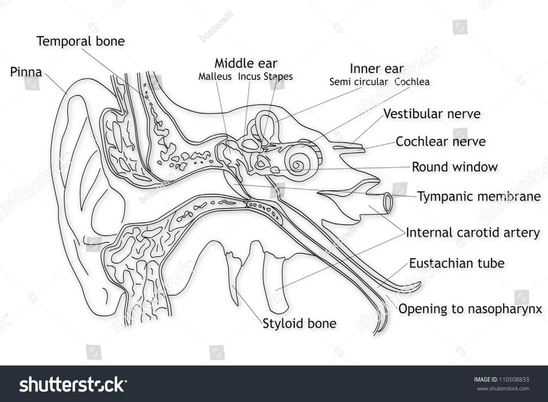 human ear structure stock photo 110508833 avopix com