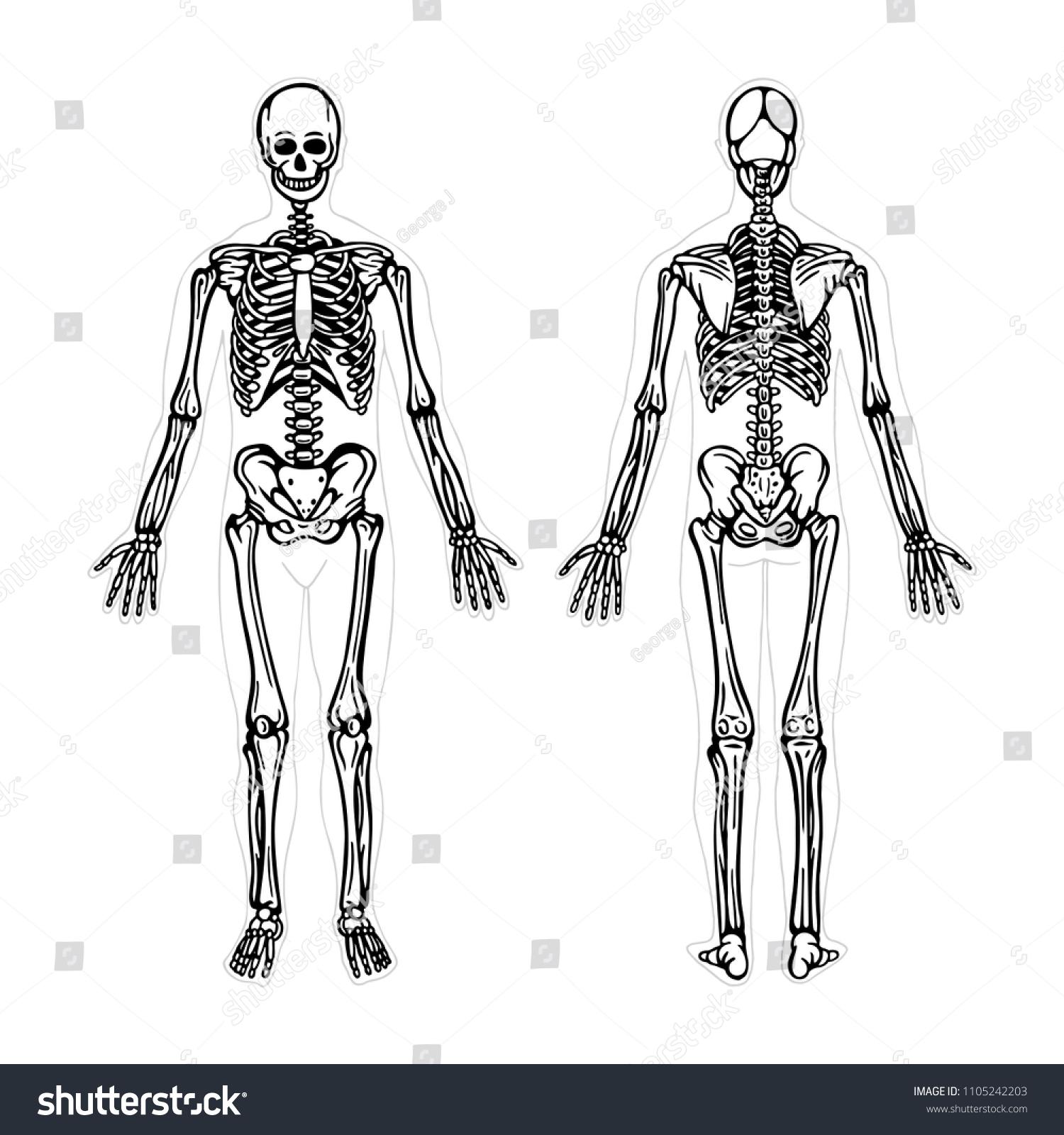 Human Skeleton Human Body Anatomy Skeleton Stock Vector Hd Royalty