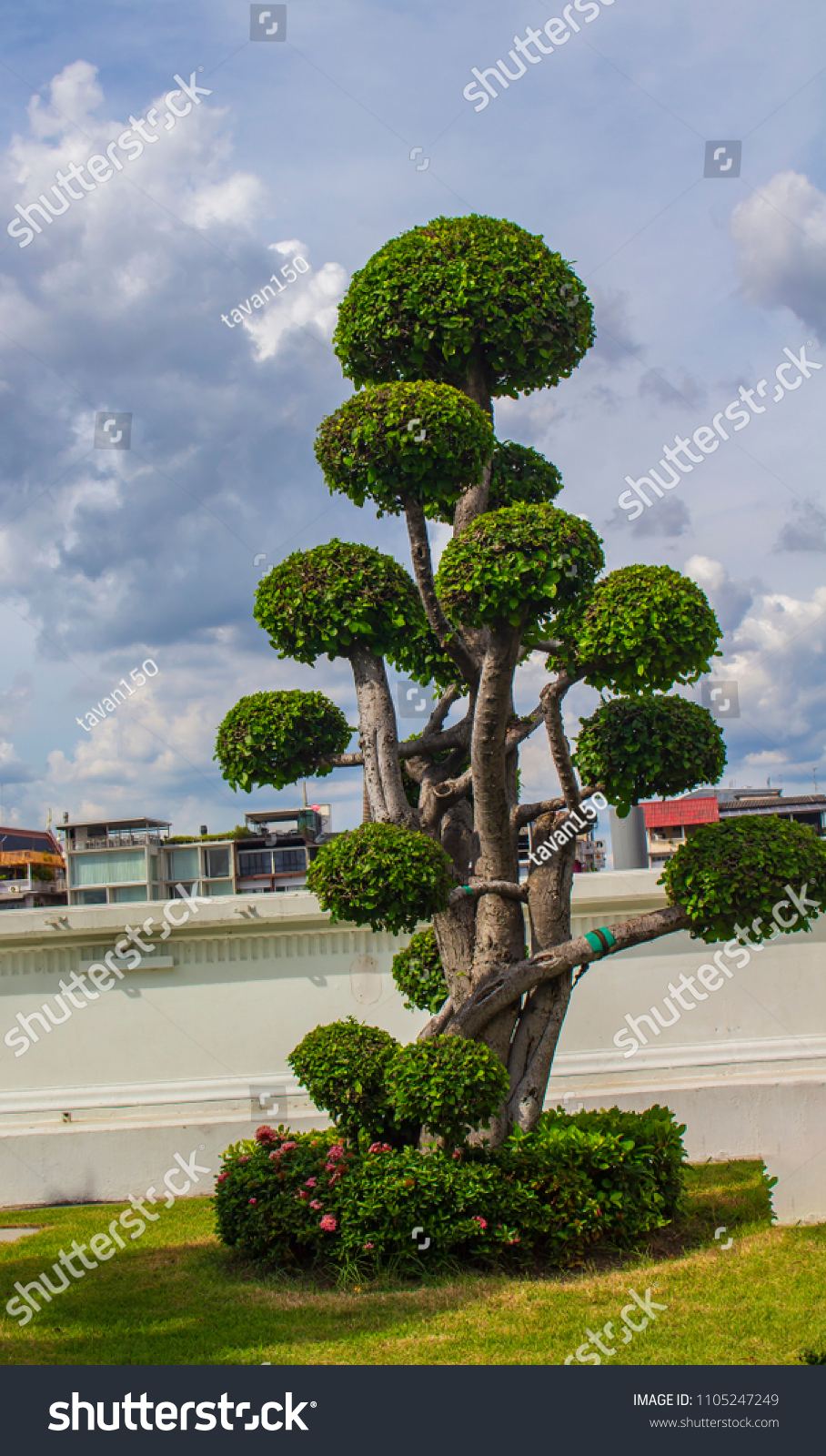 Ornamental tree for home gardening #1105247249