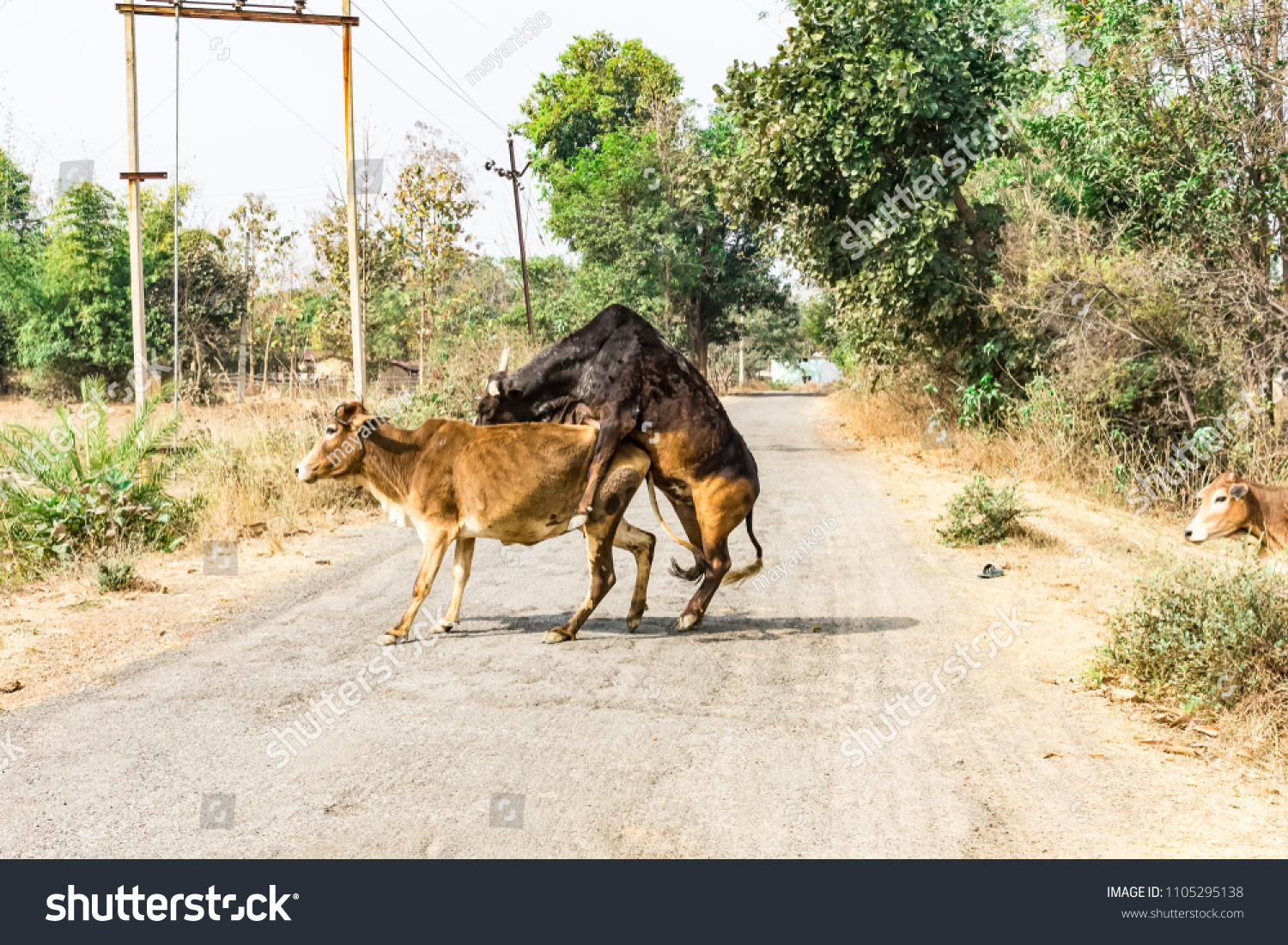 bull sex with a cow in middle of road in rural village.