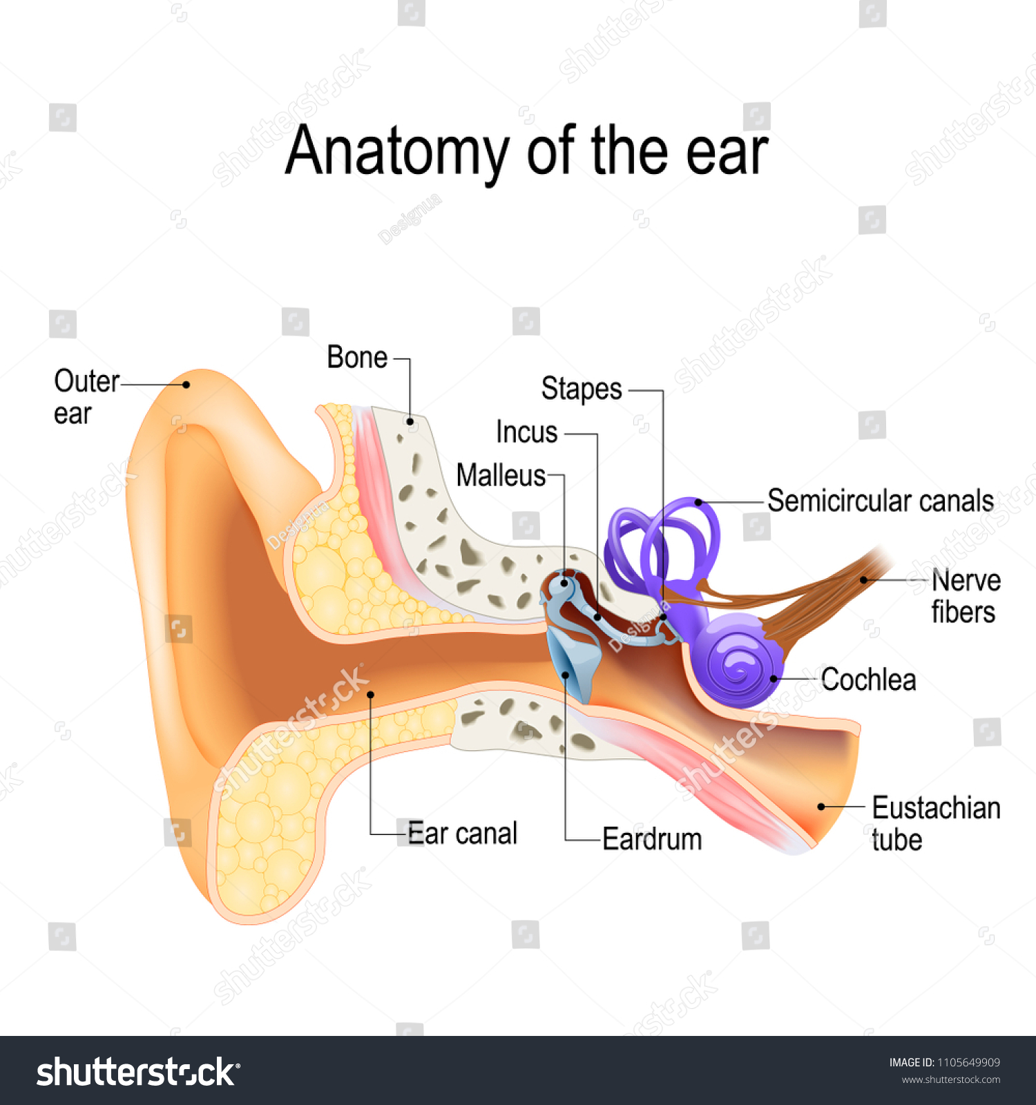 Ear Anatomy Crosssection Right External Middle Stock Vector Royalty