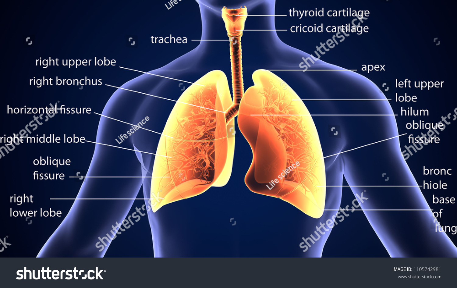 3 D Illustration Lungs Anatomy Physiology Stock Illustration ...
