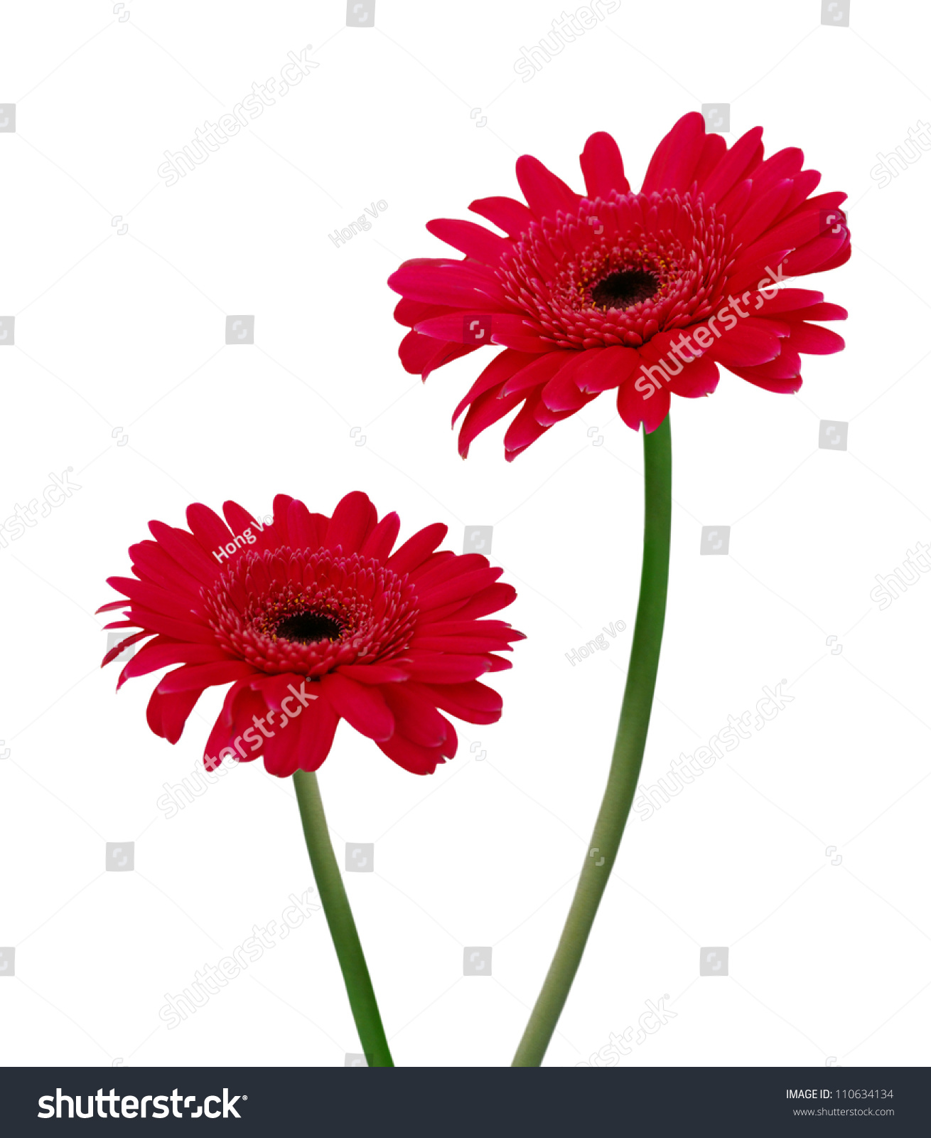 Two Gerbera Daisy Flowers On White Stock Photo Edit Now 110634134