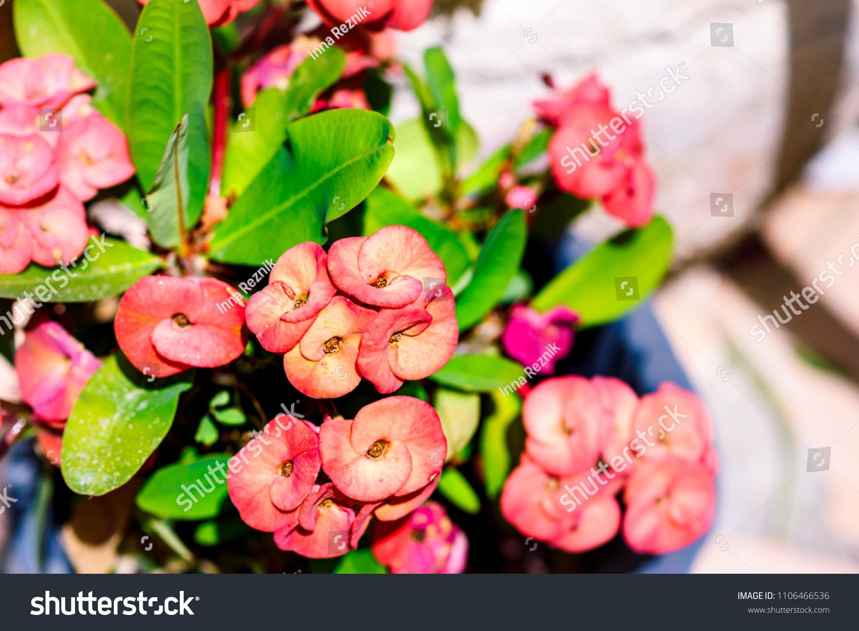 Adorable Euphorbia Succulent Plant Pink Flowers Stock Photo Edit