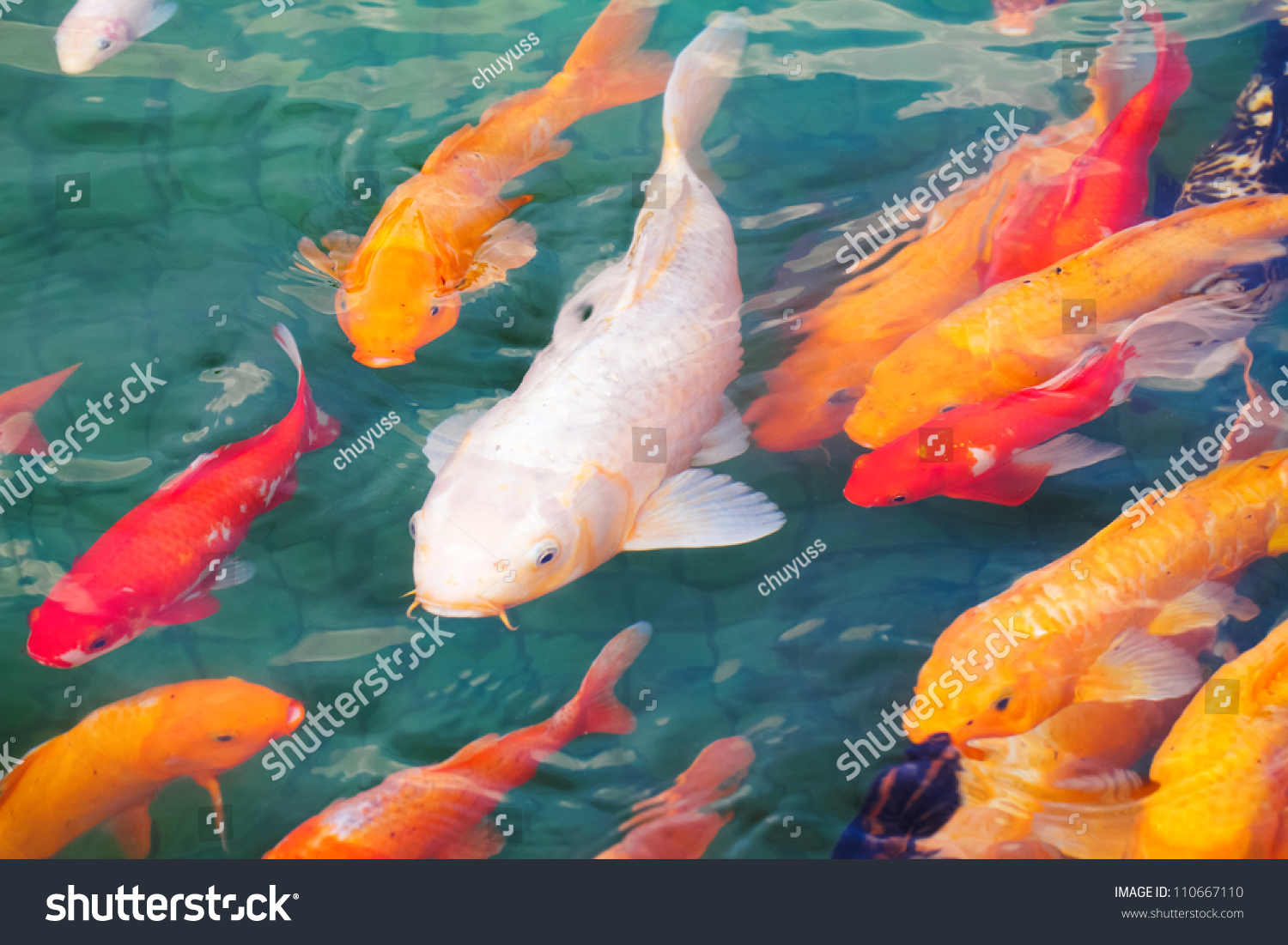 Beautiful koi fish swimming pond stock photo 110667110 for Koi fish swimming pool
