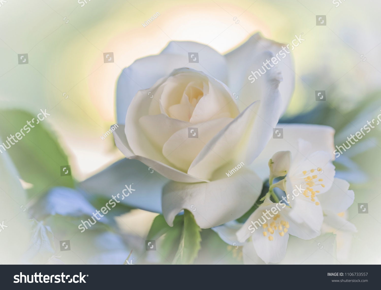 White Rose Symbol Purity Virgin Using Stock Photo Edit Now