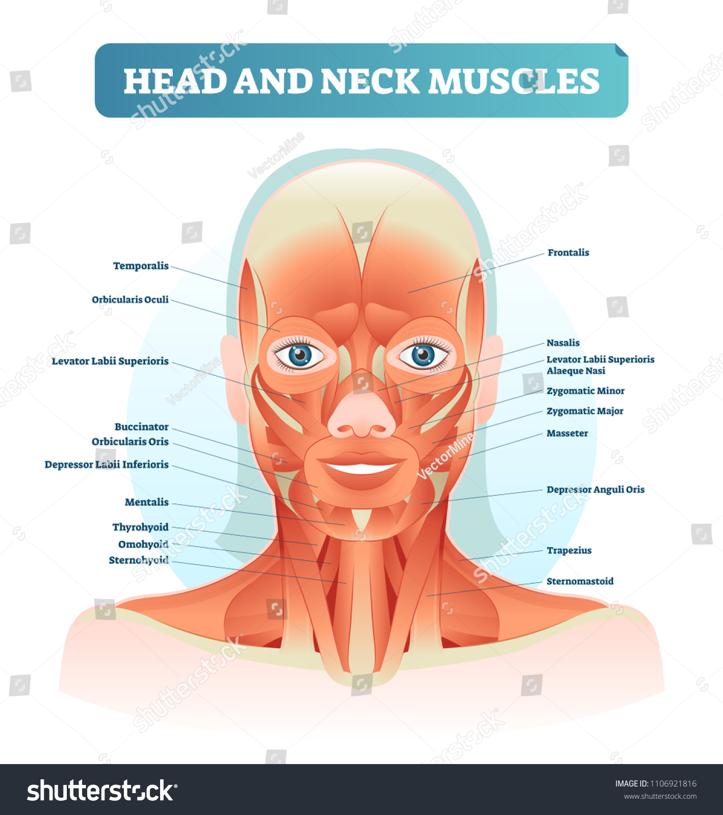 Head Neck Muscles Labeled Anatomical Diagram Stock Vector Royalty