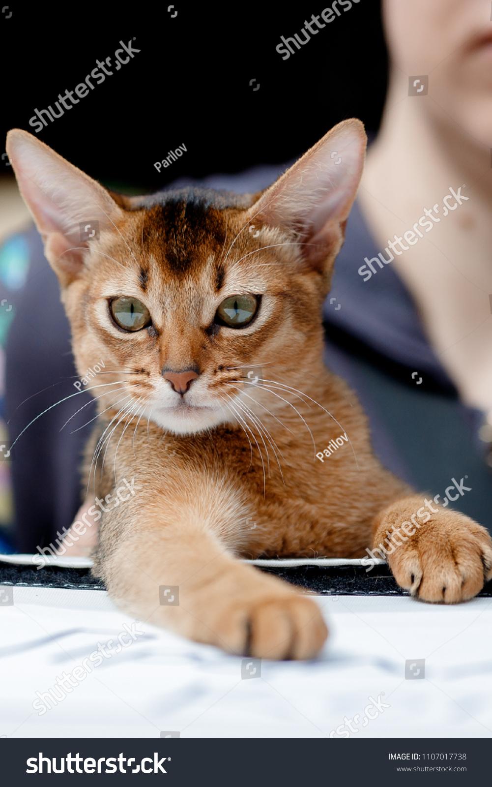 Abyssinian Cat Cats Ears