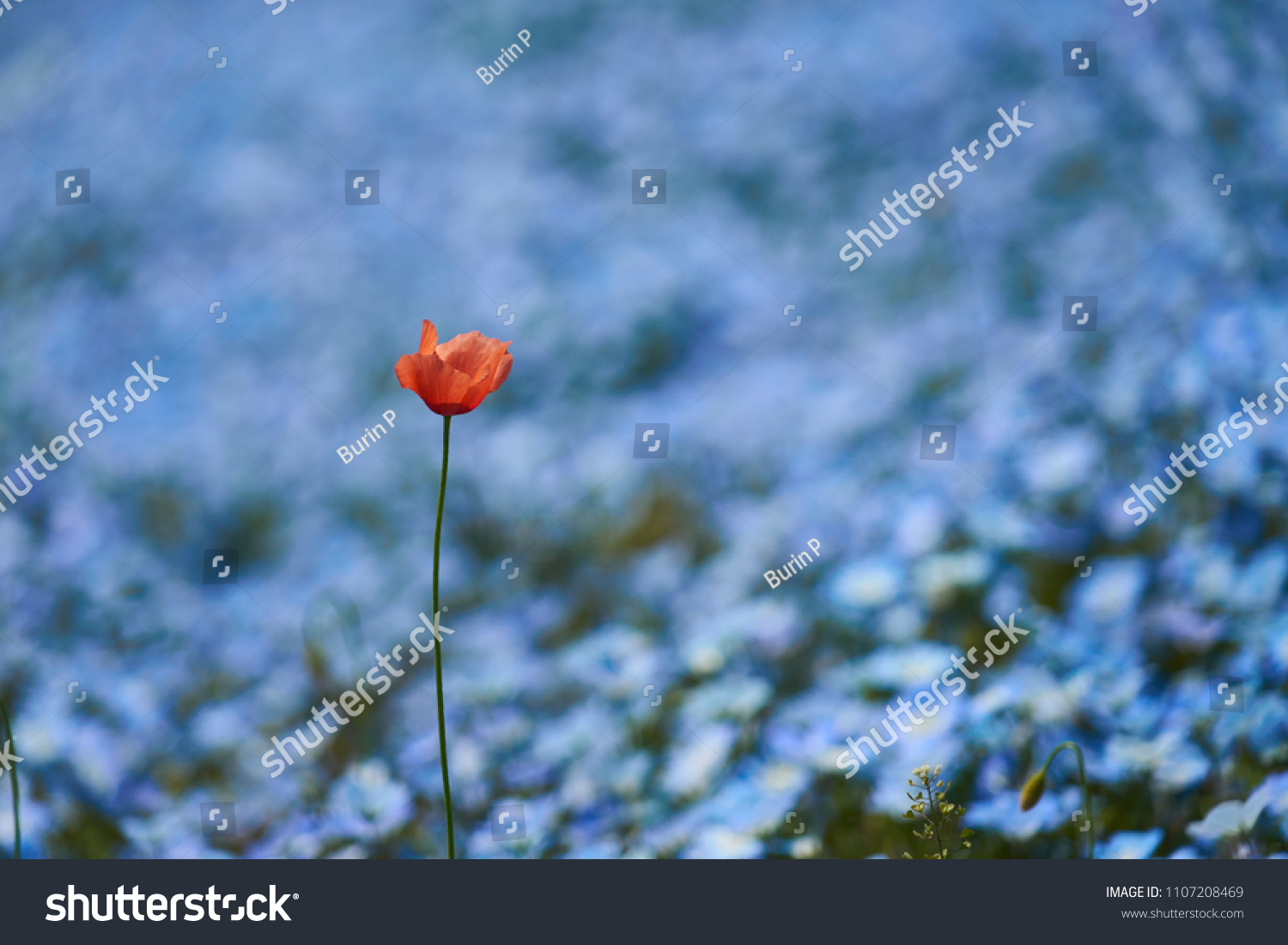 Close Outstanding Orange Poppy Flower Beautiful Stock Photo (Royalty ...